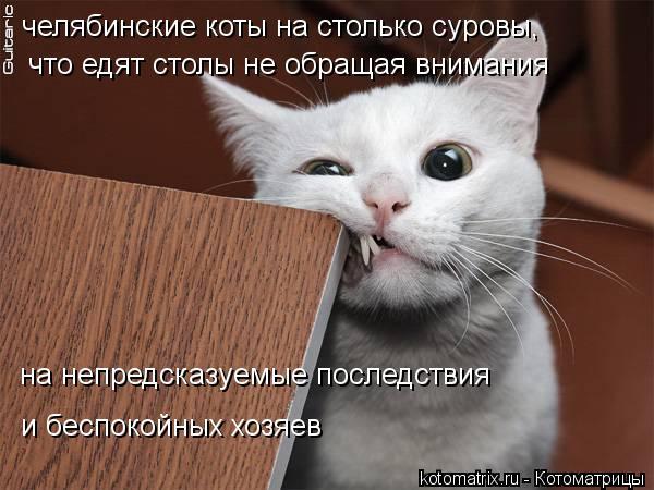 Котоматрица: челябинские коты на столько суровы, что едят столы не обращая внимания  на непредсказуемые последствия и беспокойных хозяев