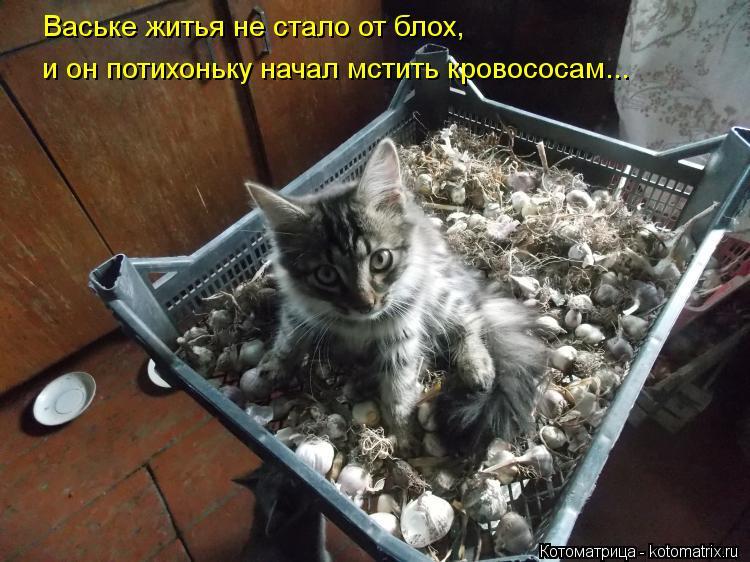 Котоматрица: Ваське житья не стало от блох, и он потихоньку начал мстить кровососам...