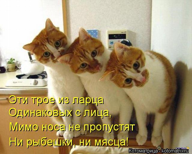 Котоматрица: Эти трое из ларца Одинаковых с лица, Мимо носа не пропустят Ни рыбешки, ни мясца!