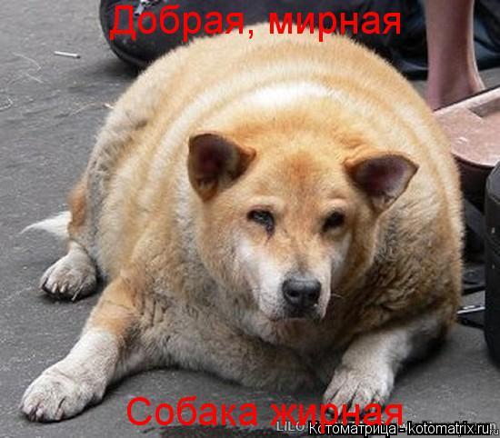 Котоматрица: Добрая, мирная Собака жирная