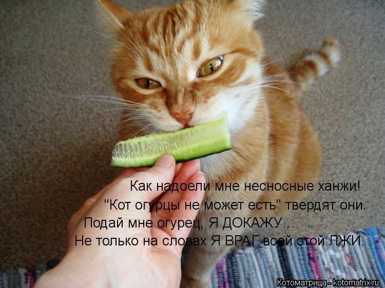 """Котоматрица: Как надоели мне несносные ханжи! """"Кот огурцы не может есть"""" твердят они. Подай мне огурец, Я ДОКАЖУ… Не только на словах Я ВРАГ всей этой ЛЖИ."""