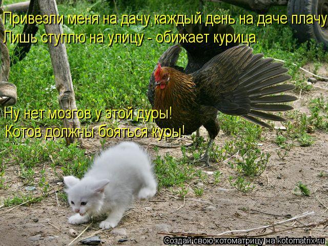 Котоматрица: Привезли меня на дачу,каждый день на даче плачу. Ну нет мозгов у этой дуры! Котов должны бояться куры! Лишь ступлю на улицу - обижает курица.