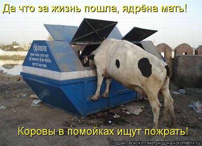 Котоматрица: Да что за жизнь пошла, ядрёна мать!  Коровы в помойках ищут пожрать!