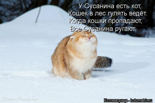 Котоматрица: У Сусанина есть кот,  Кошек в лес гулять ведёт. Когда кошки пропадают, Все Сусанина ругают.