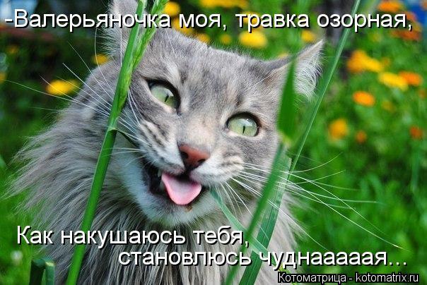 Котоматрица: -Валерьяночка моя, травка озорная, Как накушаюсь тебя,  становлюсь чуднааааая...