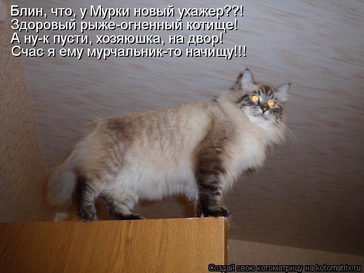 Котоматрица: Блин, что, у Мурки новый ухажер??! Здоровый рыже-огненный котище! А ну-к пусти, хозяюшка, на двор! Счас я ему мурчальник-то начищу!!!