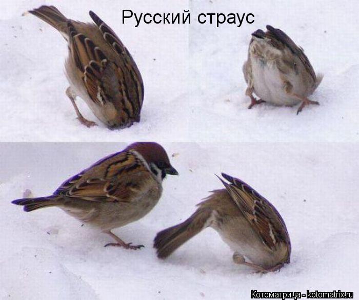 Котоматрица: Русский страус