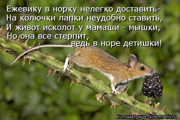 Котоматрица: Ежевику в норку нелегко доставить- На колючки лапки неудобно ставить, И живот исколот у мамаши - мышки, Но она все стерпит,  ведь в норе детиш