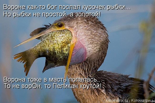 Котоматрица: Вороне как-то бог послал кусочек рыбки... Но рыбки не простой, а золотой! То не ворОн, то Пеликан крутой! Ворона тоже в масть попалась...
