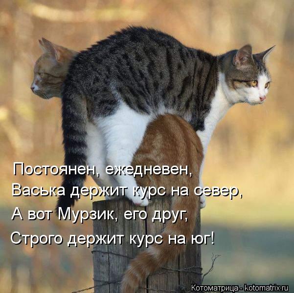 Котоматрица: Постоянен, ежедневен, Васька держит курс на север, А вот Мурзик, его друг, Строго держит курс на юг!