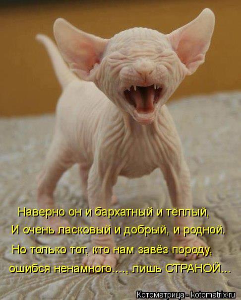 Котоматрица: И очень ласковый и добрый, и родной. Наверно он и бархатный и тёплый,  Но только тот, кто нам завёз породу,  ошибся ненамного...., лишь СТРАНОЙ...