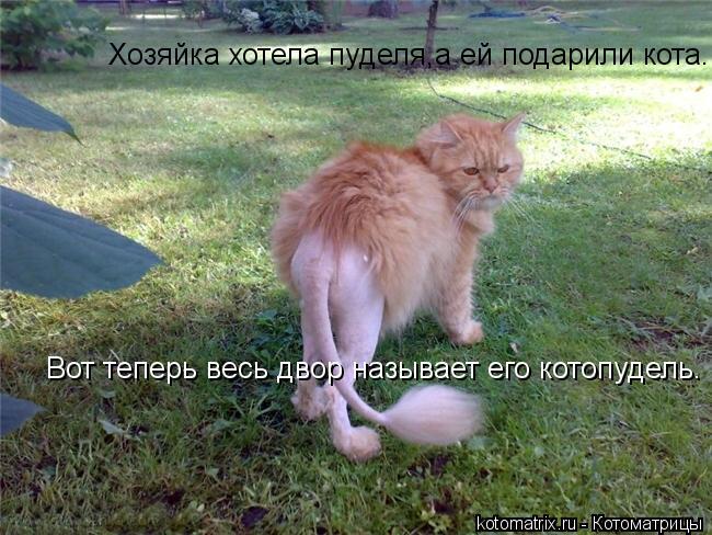 Котоматрица: Хозяйка хотела пуделя,а ей подарили кота. Вот теперь весь двор называет его котопудель.   Вот теперь весь двор называет его котопудель.
