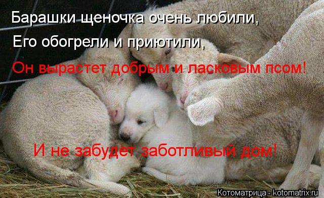 Котоматрица: Барашки щеночка очень любили, Его обогрели и приютили, Он вырастет добрым и ласковым псом! И не забудет заботливый дом!