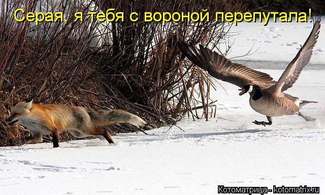 Котоматрица: Серая, я тебя с вороной перепутала!