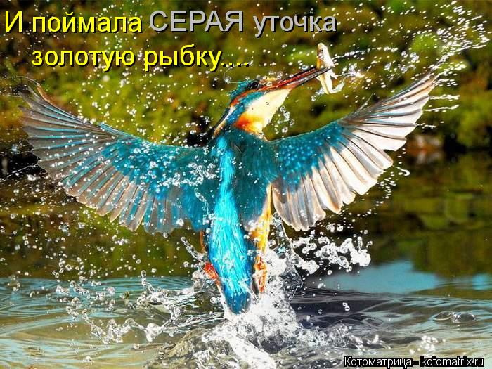 Котоматрица: СЕРАЯ уточка И поймала золотую рыбку....