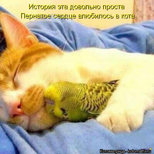 Котоматрица: История эта довольно проста Пернатое сердце влюбилось в кота