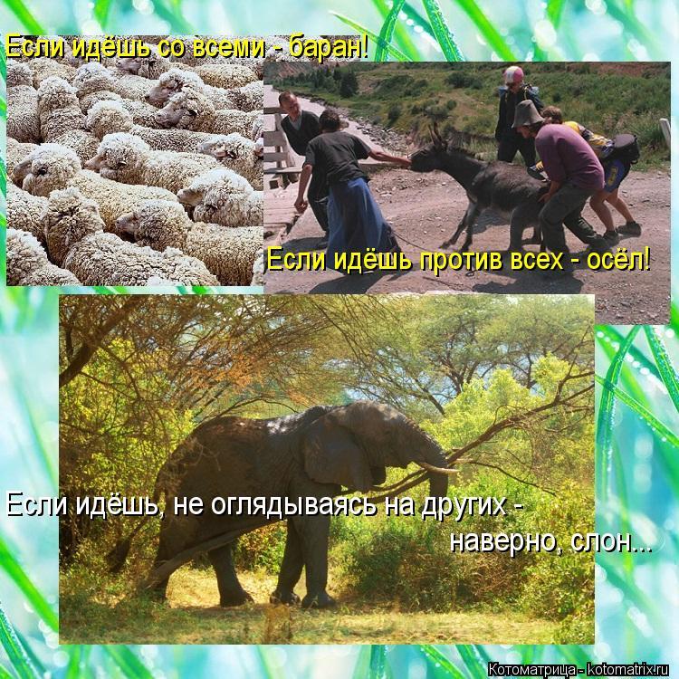 Котоматрица: Если идёшь, не оглядываясь на других - наверно, слон... Если идёшь со всеми - баран! Если идёшь против всех - осёл!