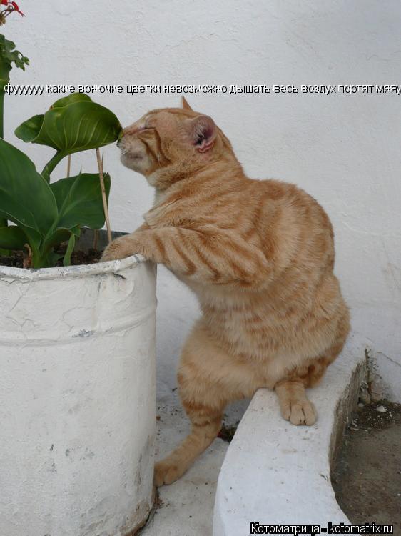 Котоматрица: фуууууу какие вонючие цветки невозможно дышать весь воздух портят мяяу