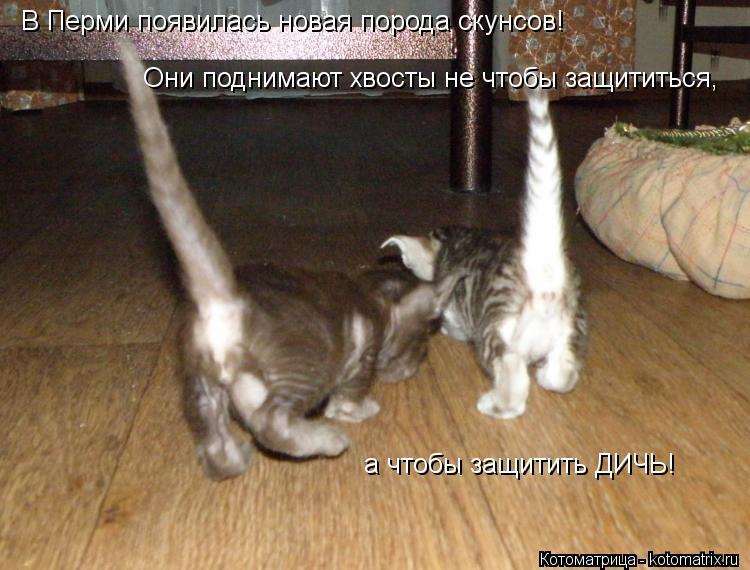 Котоматрица: В Перми появилась новая порода скунсов! Они поднимают хвосты не чтобы защититься, а чтобы защитить ДИЧЬ!