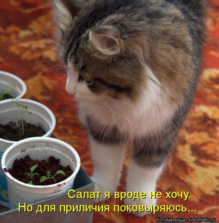 Котоматрица: Салат я вроде не хочу. Но для приличия поковыряюсь...