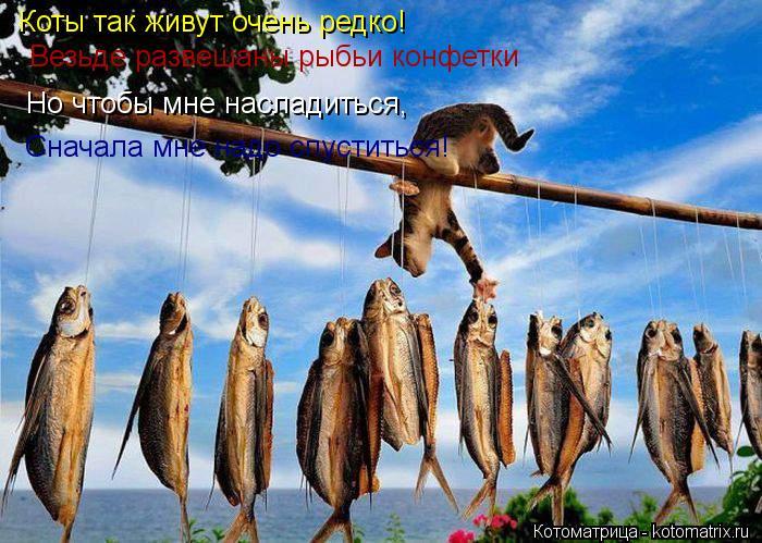 Котоматрица: Коты так живут очень редко! Везьде развешаны рыбьи конфетки Но чтобы мне насладиться, Сначала мне надо спуститься!