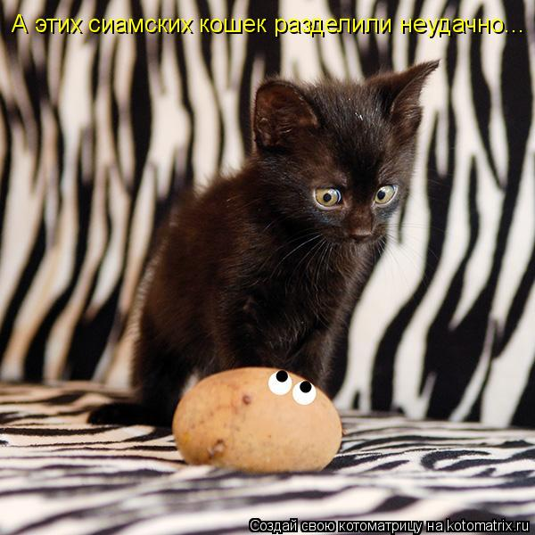 Котоматрица: А этих сиамских кошек разделили неудачно...