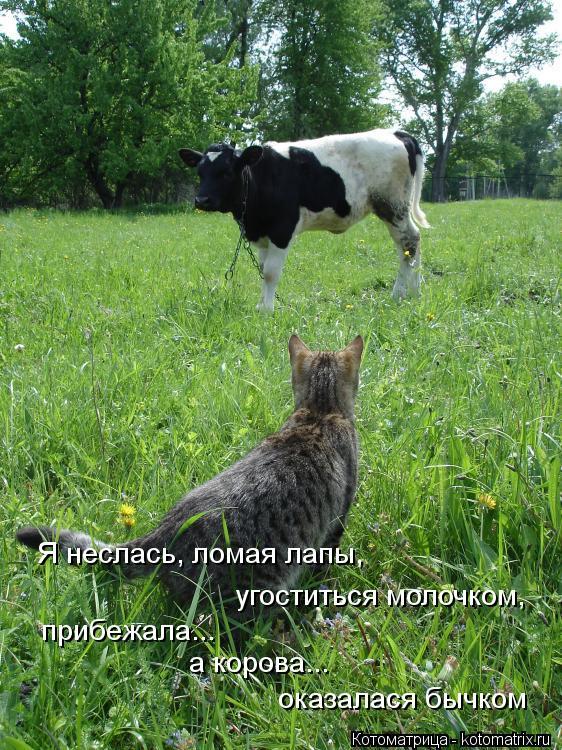 Котоматрица: угоститься молочком, прибежала... а корова... оказалася бычком Я неслась, ломая лапы,