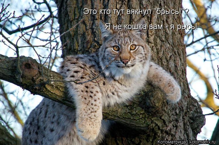 """Котоматрица: Это кто тут вякнул """"брысь!""""?  Я не кошка вам - я рысь!"""