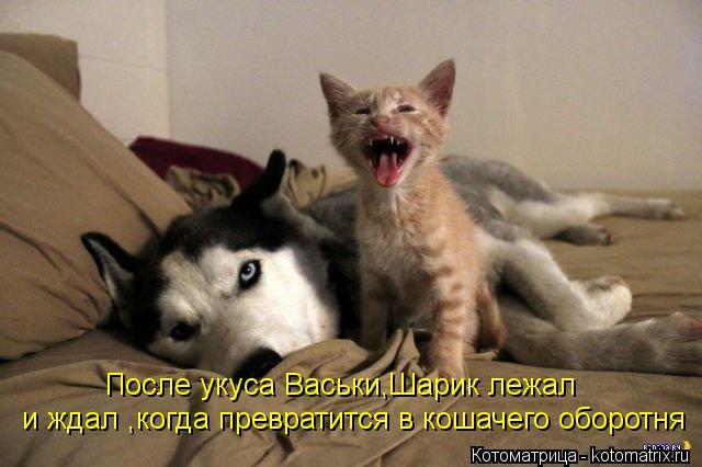 Котоматрица: После укуса Васьки,Шарик лежал и ждал ,когда превратится в кошачего оборотня