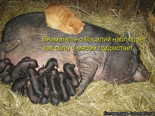 Котоматрица: Внимательно Василий наблюдает,  как сало с мясом подрастает...