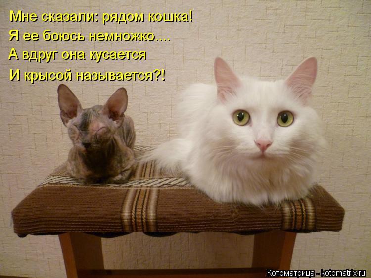 Котоматрица: Мне сказали: рядом кошка! Я ее боюсь немножко.... А вдруг она кусается И крысой называется?!