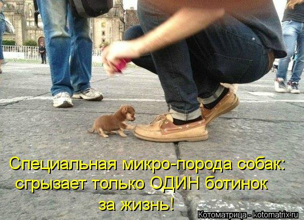 Котоматрица: Специальная микро-порода собак: сгрызает только ОДИН ботинок  за жизнь!