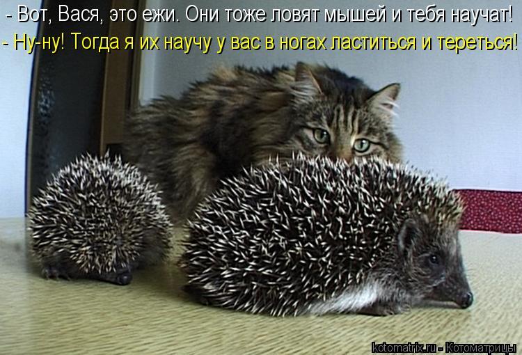 Котоматрица: - Вот, Вася, это ежи. Они тоже ловят мышей и тебя научат! - Ну-ну! Тогда я их научу у вас в ногах ластиться и тереться!