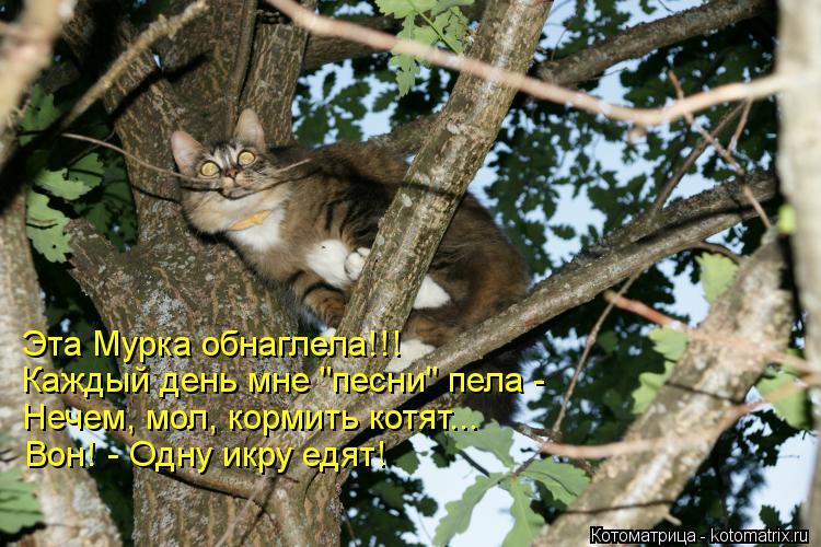 """Котоматрица: Эта Мурка обнаглела!!!  Каждый день мне """"песни"""" пела -  Нечем, мол, кормить котят... Вон! - Одну икру едят!"""