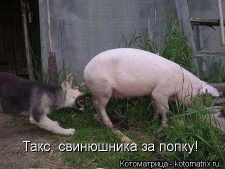 Котоматрица: Такс, свинюшника за попку!