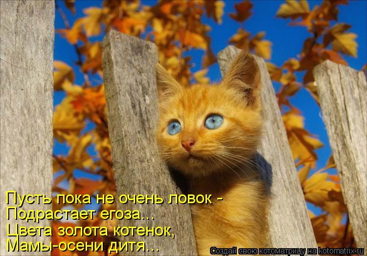 Котоматрица: Пусть пока не очень ловок - Подрастает егоза... Цвета золота котенок, Мамы-осени дитя...