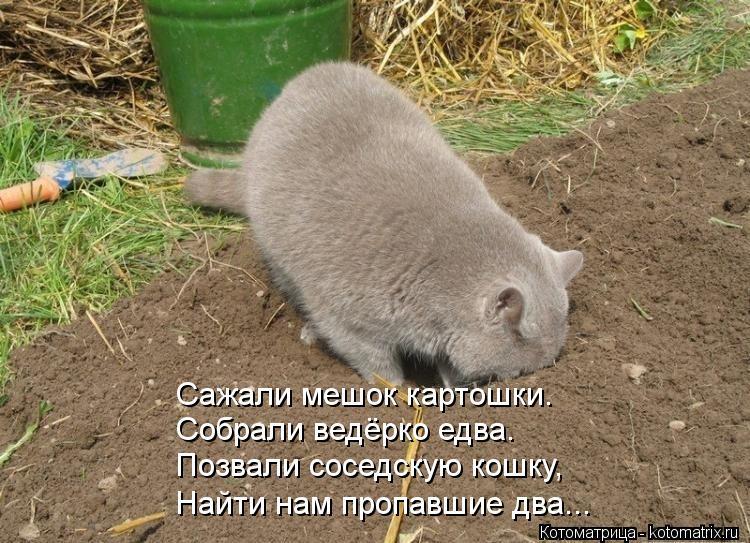 Котоматрица: Сажали мешок картошки. Собрали ведёрко едва. Позвали соседскую кошку, Найти нам пропавшие два...
