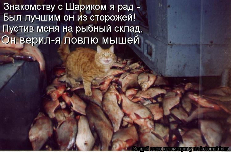 Котоматрица: Знакомству с Шариком я рад - Был лучшим он из сторожей! Пустив меня на рыбный склад, Он верил-я ловлю мышей