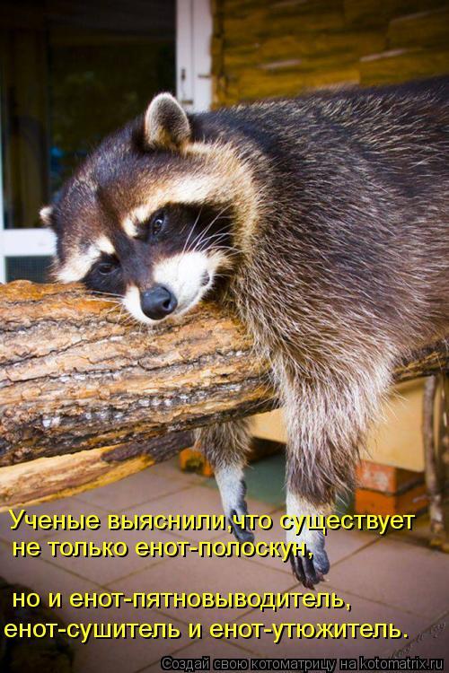 Котоматрица: Ученые выяснили,что существует не только енот-полоскун, но и енот-пятновыводитель, енот-сушитель и енот-утюжитель.