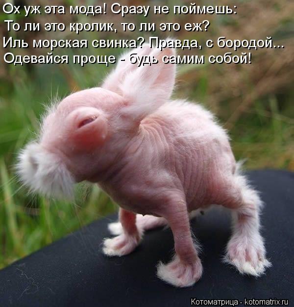 Котоматрица: Ох уж эта мода! Сразу не поймешь: То ли это кролик, то ли это еж? Иль морская свинка? Правда, с бородой... Одевайся проще - будь самим собой!