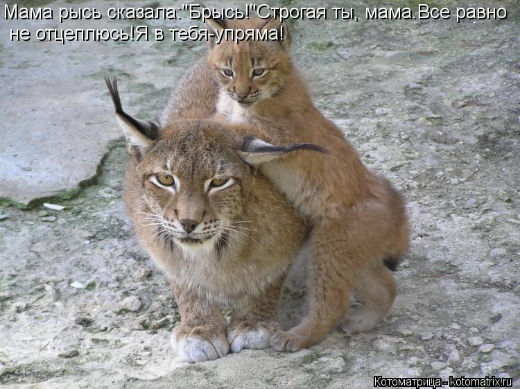"""Котоматрица: не отцеплюсь!Я в тебя-упряма! Мама рысь сказала:""""Брысь!""""Строгая ты, мама.Все равно"""