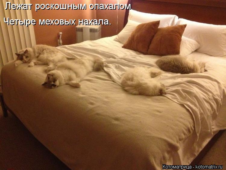 Котоматрица: Лежат роскошным опахалом Четыре меховых нахала.