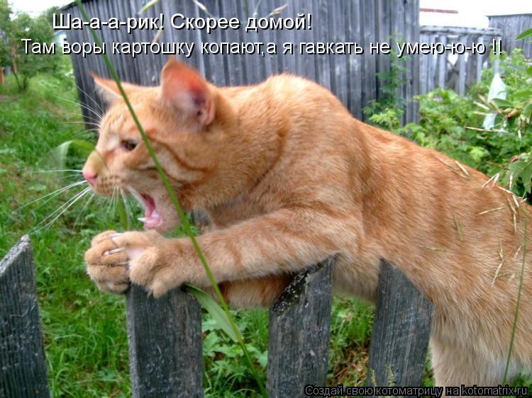 Котоматрица: Ша-а-а-рик! Скорее домой! Там воры картошку копают,а я гавкать не умею-ю-ю !!
