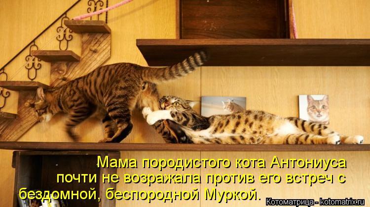 Котоматрица: Мама породистого кота Антониуса  почти не возражала против его встреч с  бездомной, беспородной Муркой.