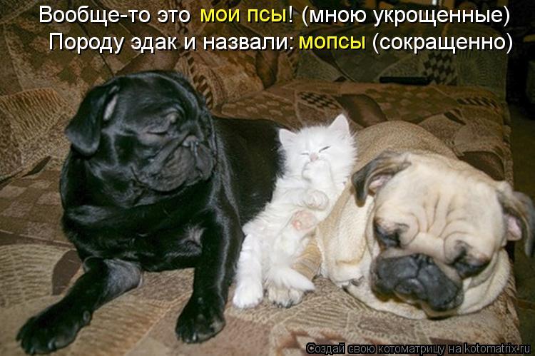Котоматрица: мопсы Породу эдак и назвали:            (сокращенно) Вообще-то это               ! (мною укрощенные) мои псы