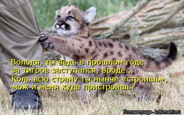 Котоматрица: - Володя, ты ведь в прошлом годе за тигров заступался, вроде... Коль всю страну ты нынче «строишь», мож и меня куда пристроишь?