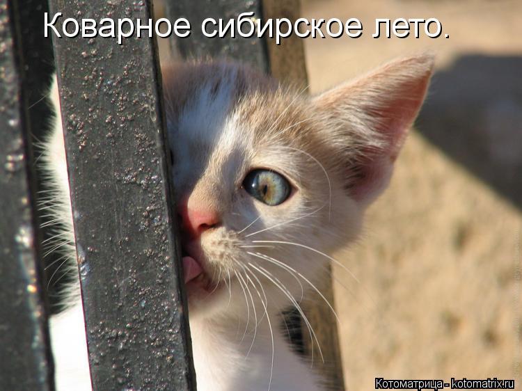 Котоматрица: Коварное сибирское лето.