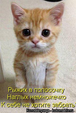 Котоматрица: Наглых немножечко Рыжих в полосочку К себе не хотите забрать?
