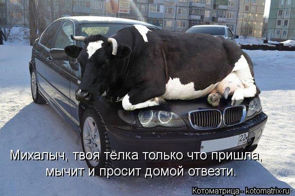 Котоматрица: Михалыч, твоя тёлка только что пришла, мычит и просит домой отвезти.