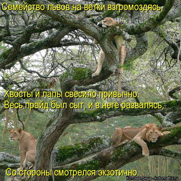 Котоматрица: Семейство львов на ветки взгромоздясь, Хвосты и лапы свесило привычно. Весь прайд был сыт, и в неге развалясь, Со стороны смотрелся экзотичн